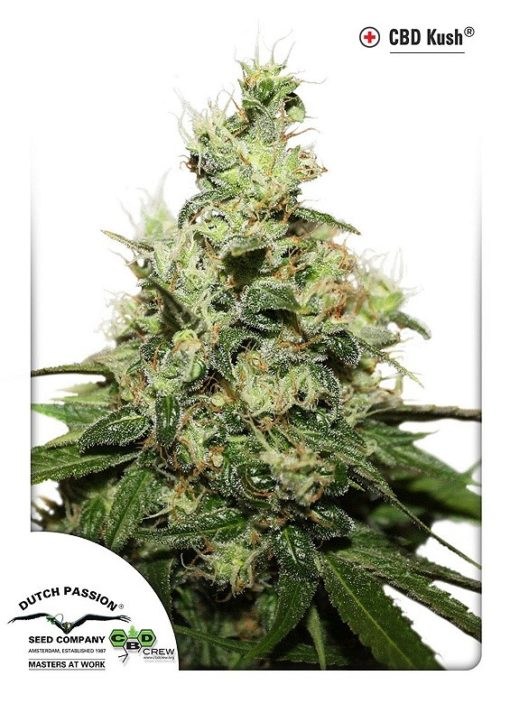 CBD Kush Dutch Passion Feminized