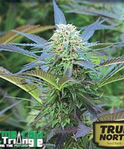 Emerald Triangle Seeds Royal Purple Kush Feminized
