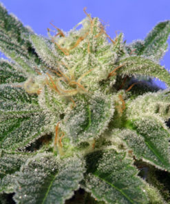 TH Seeds Kushage Feminized