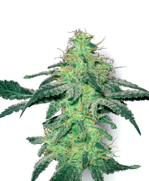 White Label Seeds White Skunk Feminised