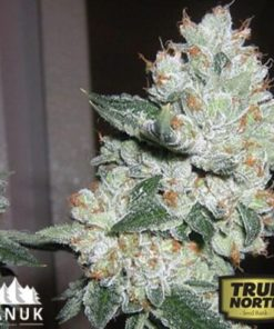 True OG Feminized Seeds